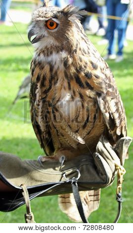 Owl On Protection Glove A Falconer During The Outdoor Event