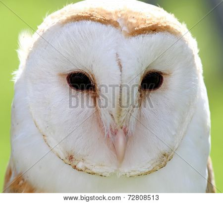 White Barn Owl With Two Dark Eyes On Backlight