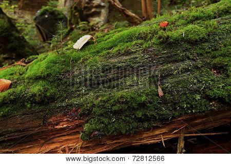 Rotting Tree Covered With Moss In Autumn Forest