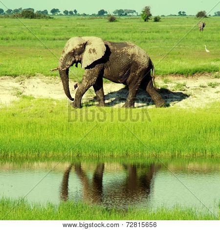 African Elephant In Wild Savanna( Botswana, South Africa)