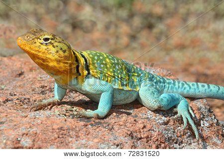 Western Collard Lizard (crotaphytus Collaris)