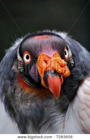 King Vulture Portrait