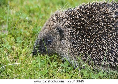 Young Hedgehog In Garden