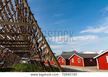 Cod fish at the drying racks and rorbu, Lofoten, Norway