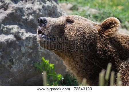 Grizzly Portrait