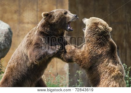 Dominant Grizzly Bears