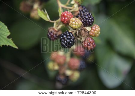A group of blackberries on a bush