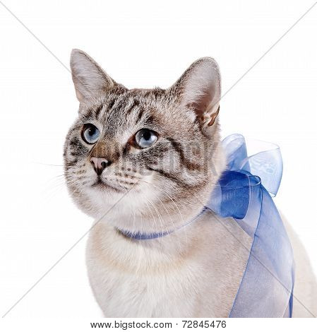 Portrait Of A Striped Cat With A Blue Tape.