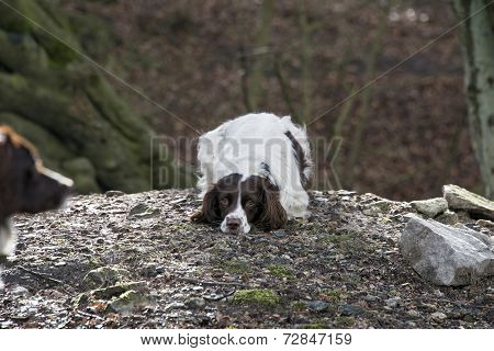 Springer Spaniel Playing