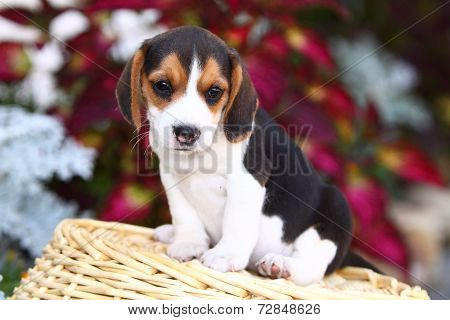 Beagle puppy sitting on wicker basket