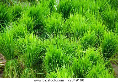 Rice Seedling Ready To Transplanting