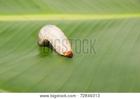 Caterpillar crawling on a green leaf