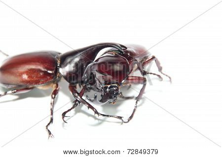 Fighting Scarab beetles