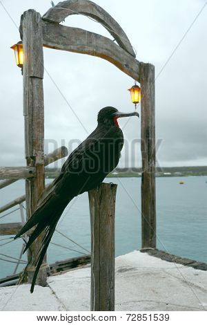Frigate Bird, Santa Cruz, Galapagos
