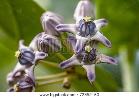 Calotropis Giantea Dahlia