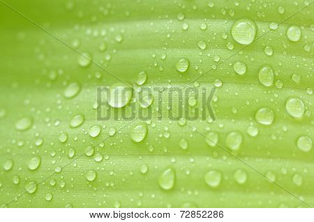 Rain On Banana Leaves