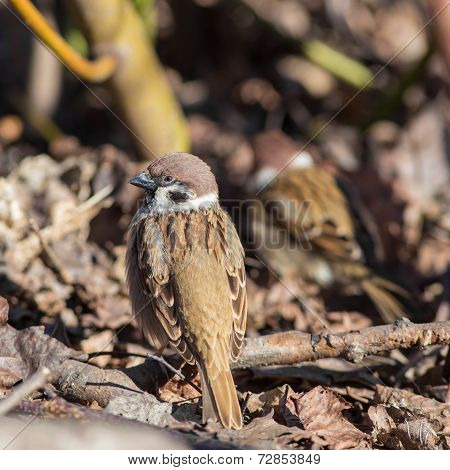 Sparrows On Fallen Autumn Leaves