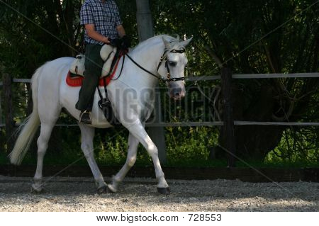 Andalusian Horse Trotting