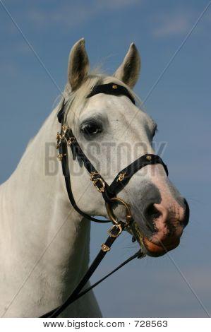 Noble Horse Portrait