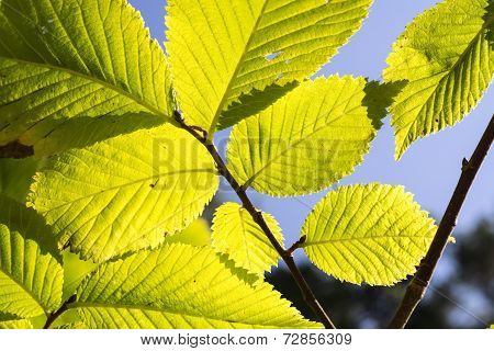 Linden Tree Leaves In Sunlight