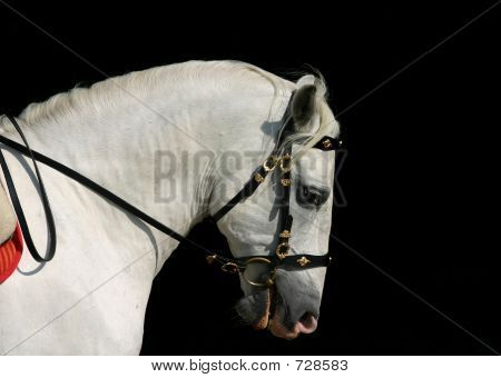 Andalusian Horse At Work