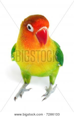 Colorful Lovebird