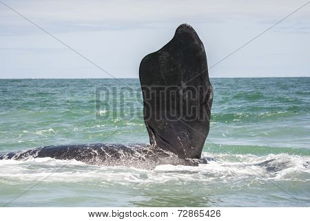 Southern Right Whale Fin