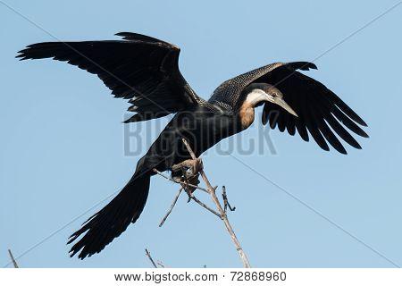 An African Darter (anhinga Rufa) Balancing On A Perch