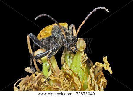 Caprocorn Beetle (brachyta Bifasciata)