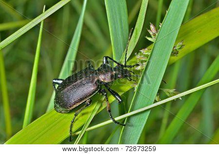Beetle Carabus (calosoma)