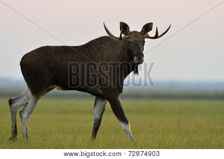 Moose Bull Walking In The Sunset