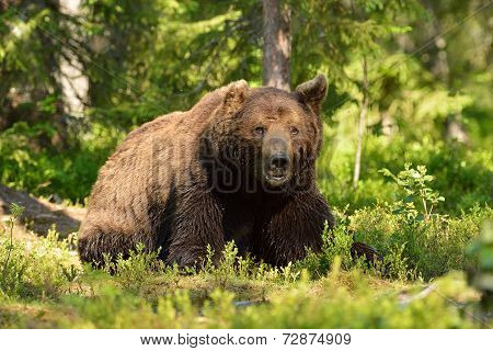 Male Bear In Forest