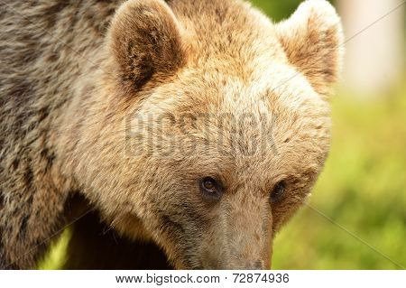 Brown Bear Eyes