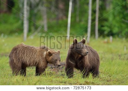 Brown Bear Cubs In The Bog