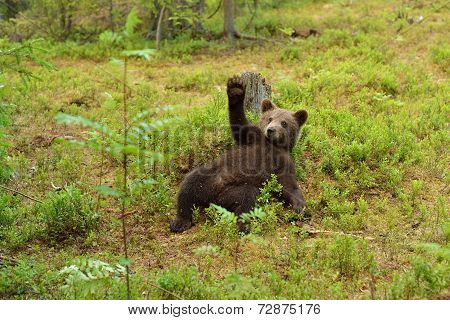 Brown Bear Cub Waving