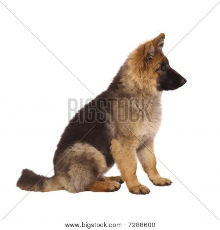 Puppy Of German Shepard