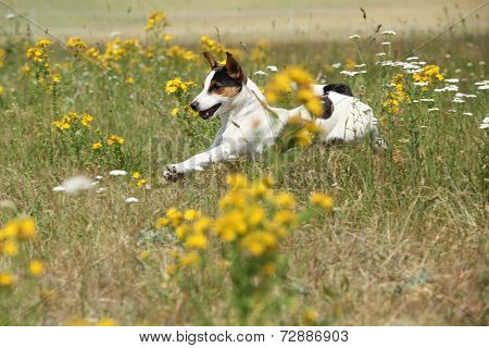 Amazing Jack Russell Terrier Running And Jumping