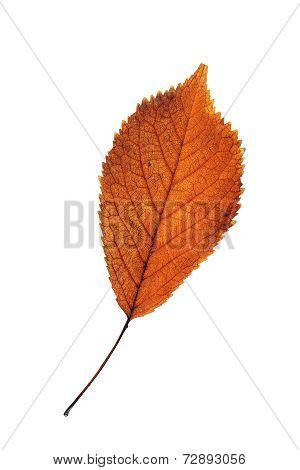 Cherry Reddish Leaf Isolated On White
