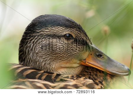 Closeup Portrait Of A Mallard Duck