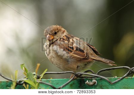 House Sparrow On Wire Fence