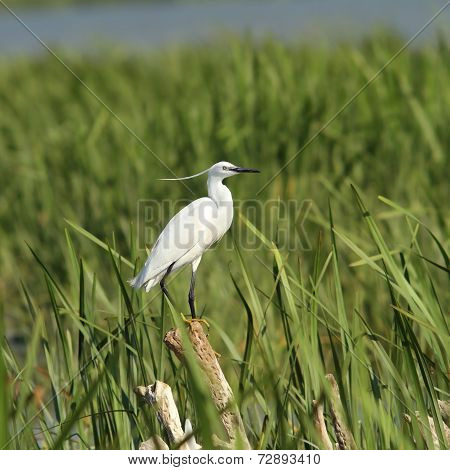 Little Egret On Reeds