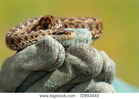 Meadow Viper On Glove