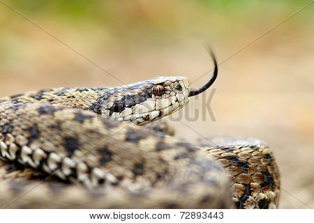Meadow Viper Portrait