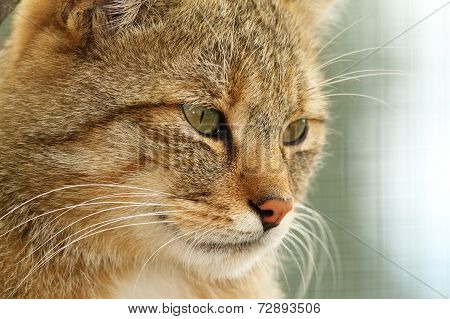 Portrait Of European Wildcat