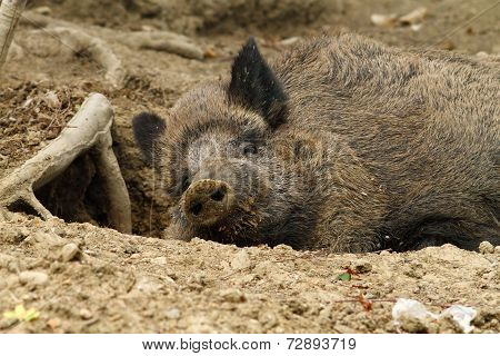 Wild Boar At The Zoo
