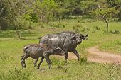 image of cape buffalo  - Mother and Baby Cape Buffalo after a mud bath in Lake Mburo National park - JPG