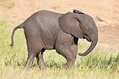 stock photo of calves  - Small elephant calf play in long green grass and having a lot of fun - JPG