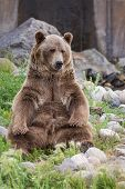 stock photo of rear-end  - adult male grizzly bear sitting on his rear end reaching for his rear feet - JPG