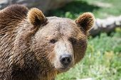 pic of grizzly bear  - close up of a grizzly bear in eastern Montana under bright sunny conditions - JPG