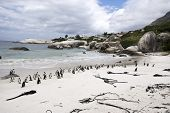 picture of jackass  - A colony of African penguins on Boulders Beach South Africa - JPG